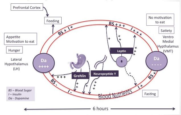 stomach-hunger-dopamine-reg
