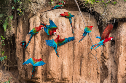 Macaws in the Peruvian Amazon jungle at Madre de Dios eat clay in the morning to prepare for the poisonous fruit they will eat during the day