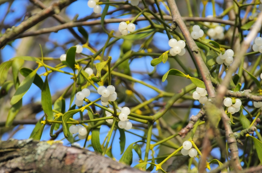 European mistletoe plant with white berries containing seeds (Viscum album)