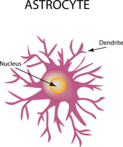 NADH can be transported across the plasma membranes of astrocytes